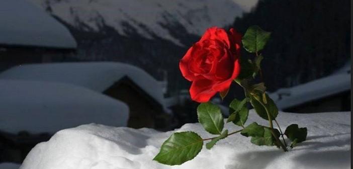rosa-delle-nevi