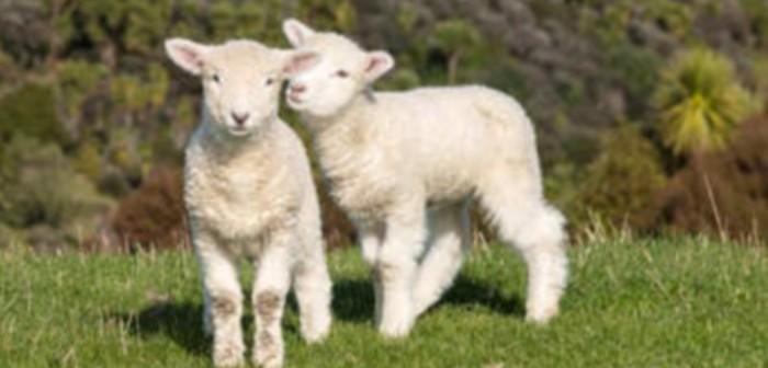 La strage degli agnelli
