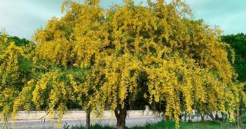 albero mimose